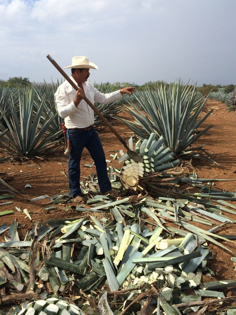 Tequila - the life of a Jimador on The Rockpool Files.